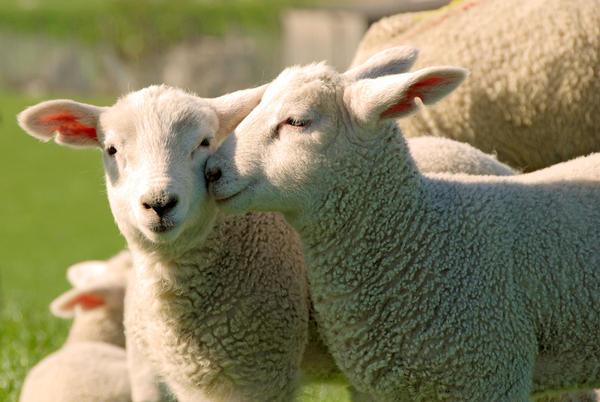 snuggling-lambs-schmusende-lammer_l